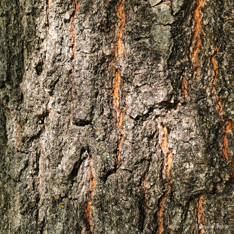 Stretch marks in tree trunk show as orange lines