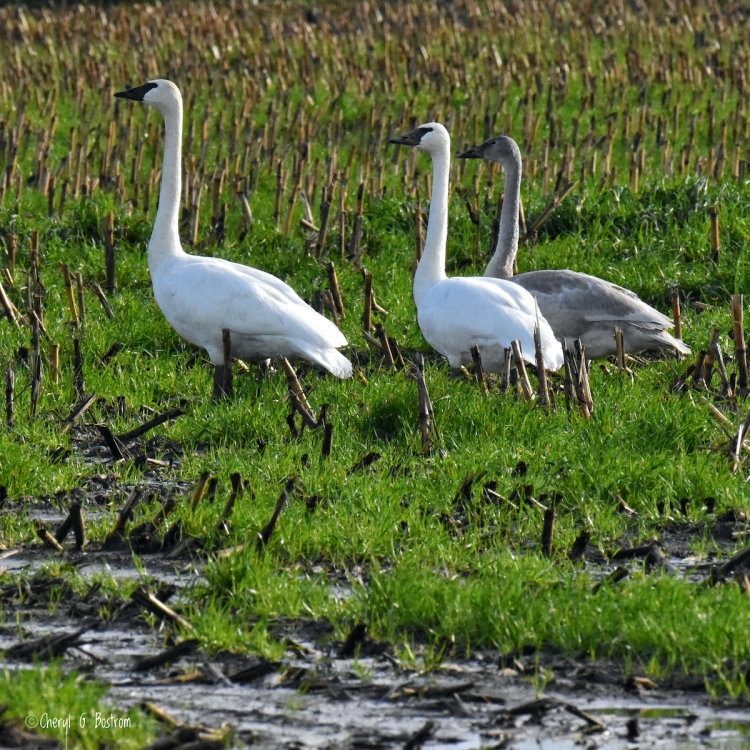 Mature Trumpeter Swans with gosling in winter field of corn stubble