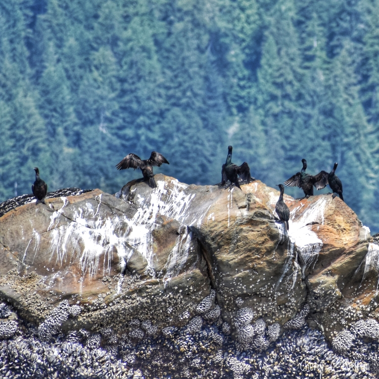 cormorants dry wings on mussel-covered rock at low tide