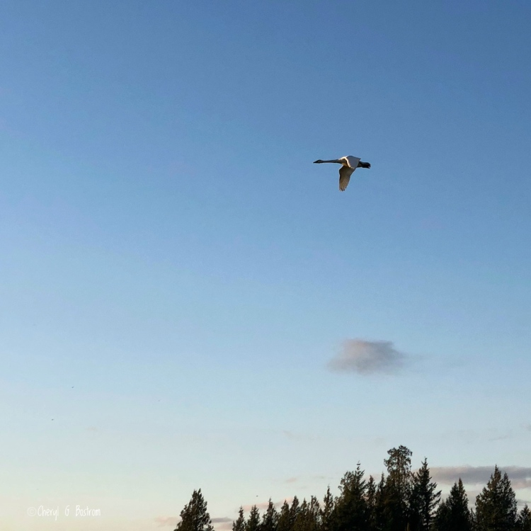 Lone trumpeter swan flies toward sunset