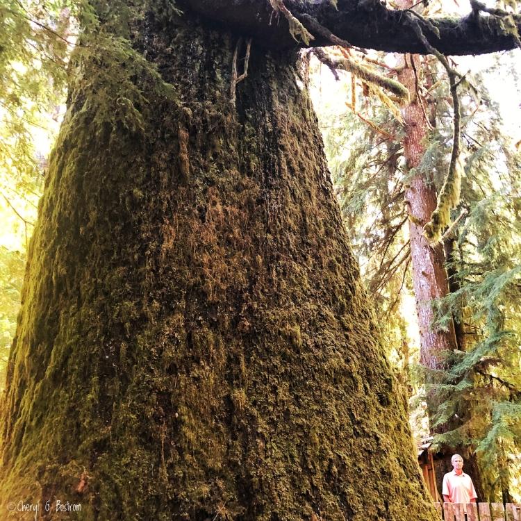 massive sitka spruce dwarfs man standing beside it