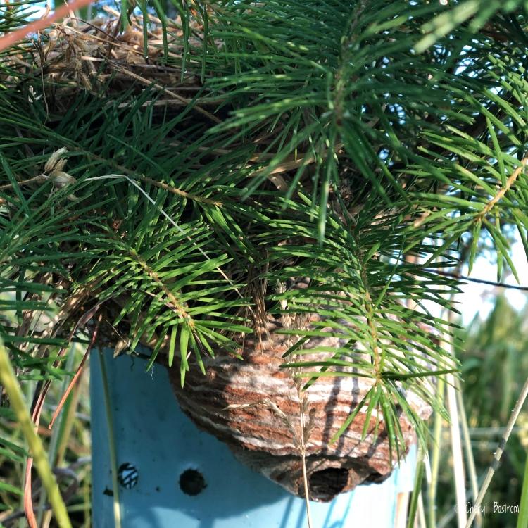 Bald-faced hornet's nest inches below a sparrow nest