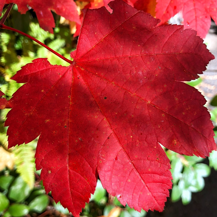 Brilliant red maple leave