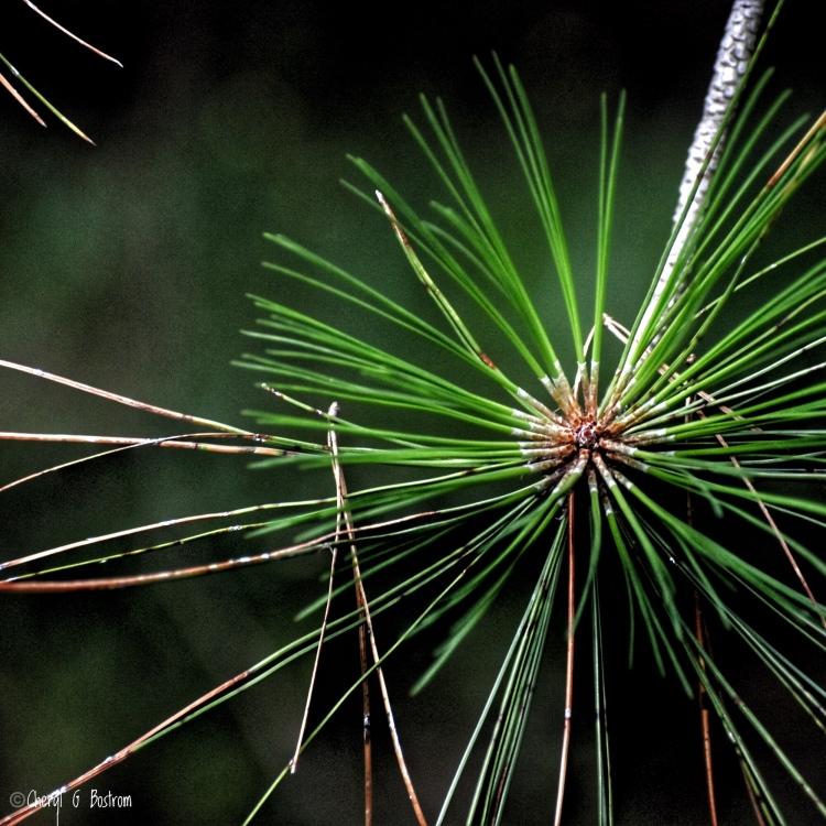 pine needles clustered on stem
