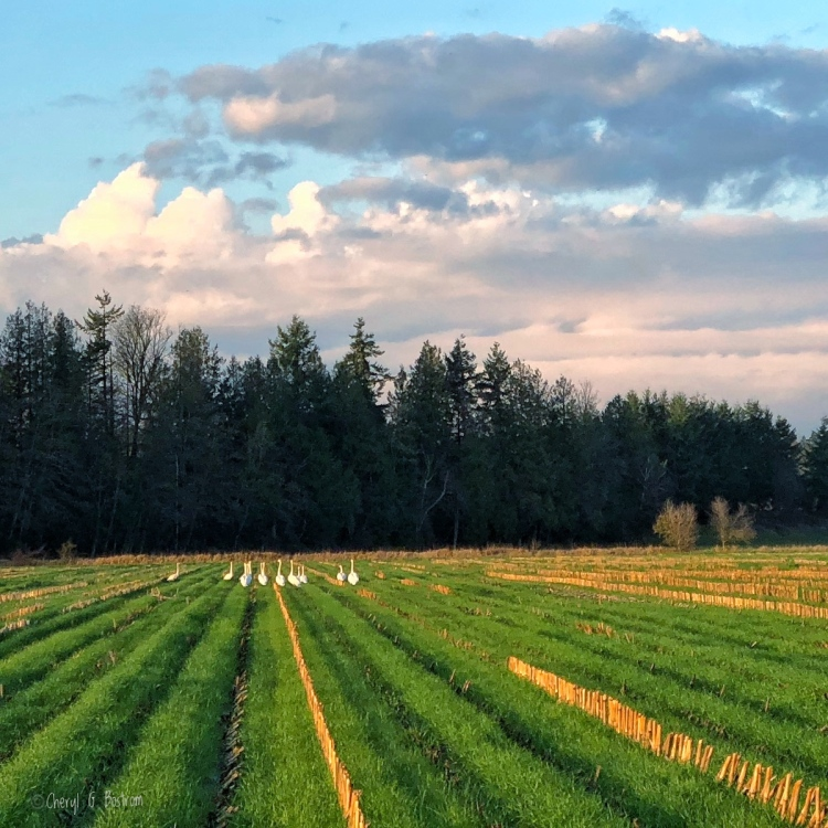 Trumpeter swans forage in corn stubble
