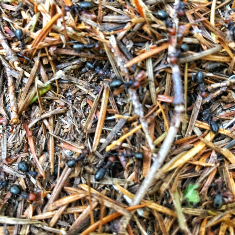 Thatching ants on anthill