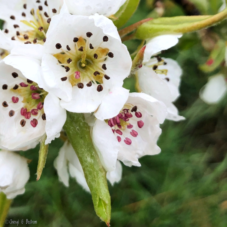 Close-up-of-pear-blossoms