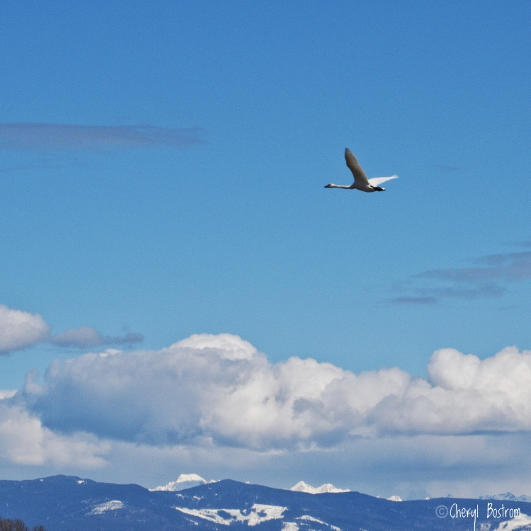 Trumpeter swan flying toward mountains