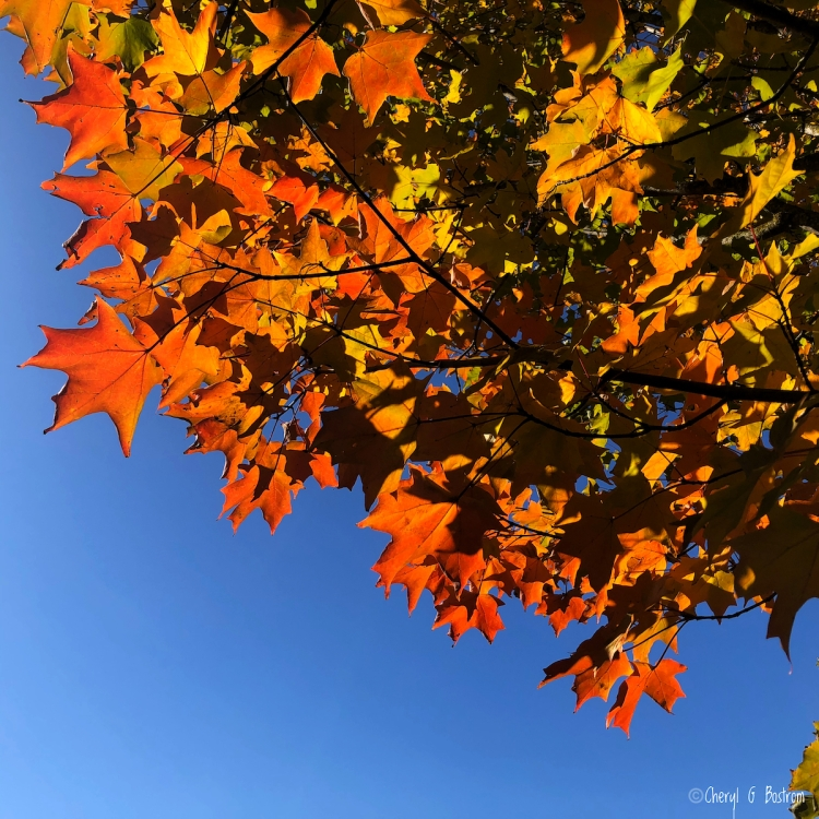 Brilliant orange sugar maple leaves against deep blue sky