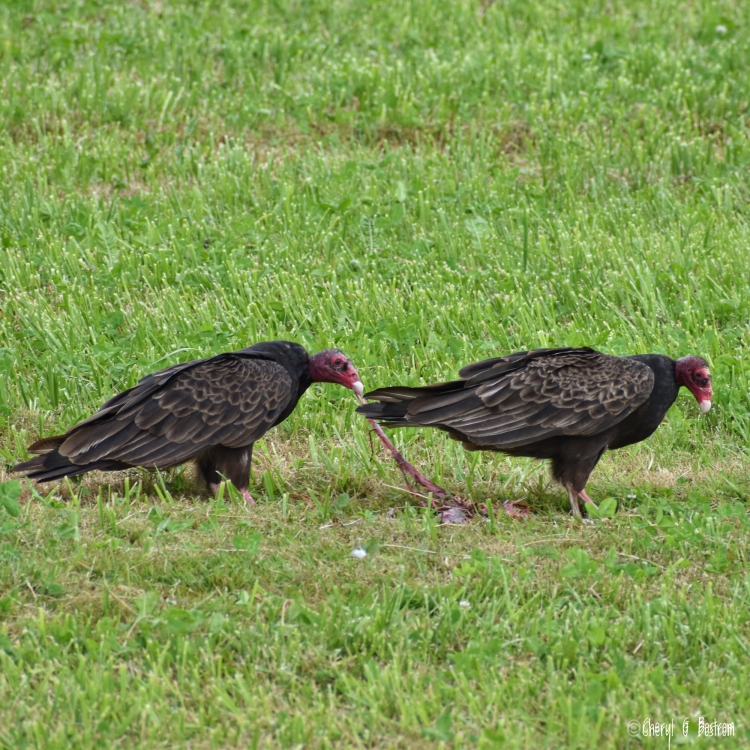turkey vulture eats calf's umbilical cord