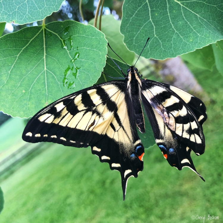 Tiger swallowtail with injured wing