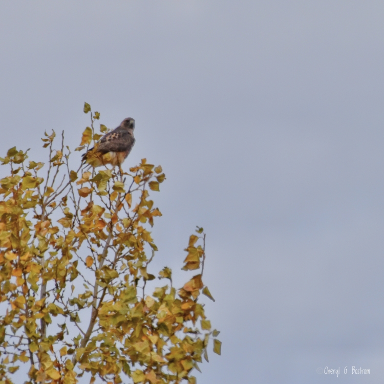Redtail hawk sits in tree with leaves matching his feathers