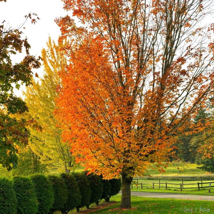 Brilliant orange sugar maple in line of gold silver maples