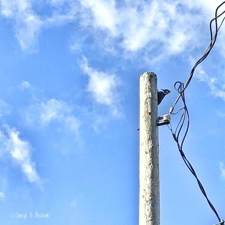 Pileated woodpecker poised on telephone pole