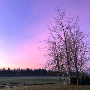 Bare aspen trees in front of pink sunrise