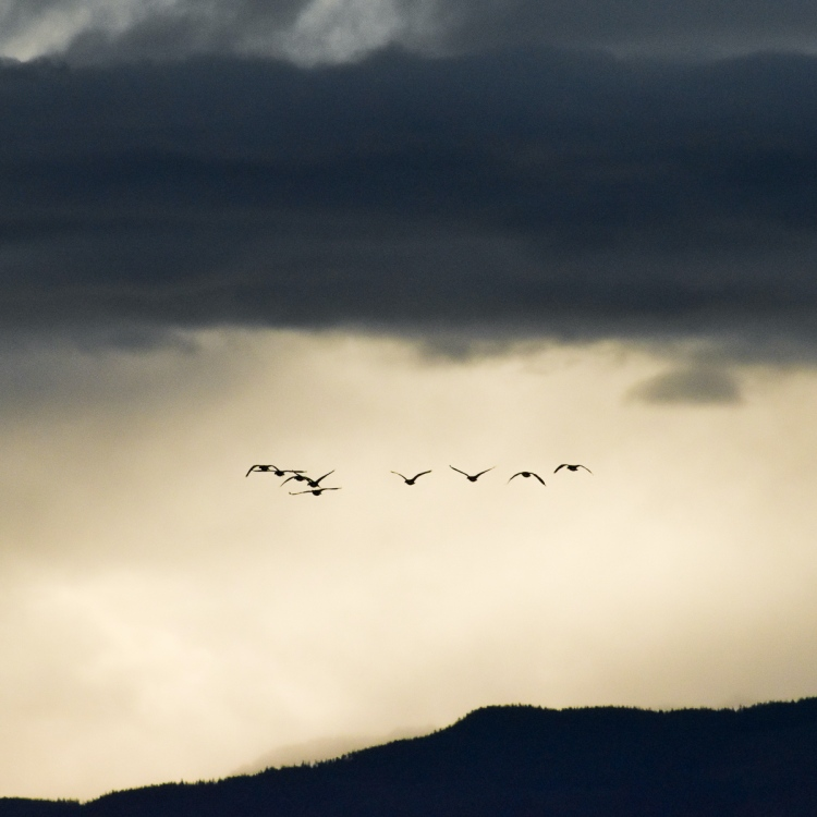 Canadian Geese fly through storm