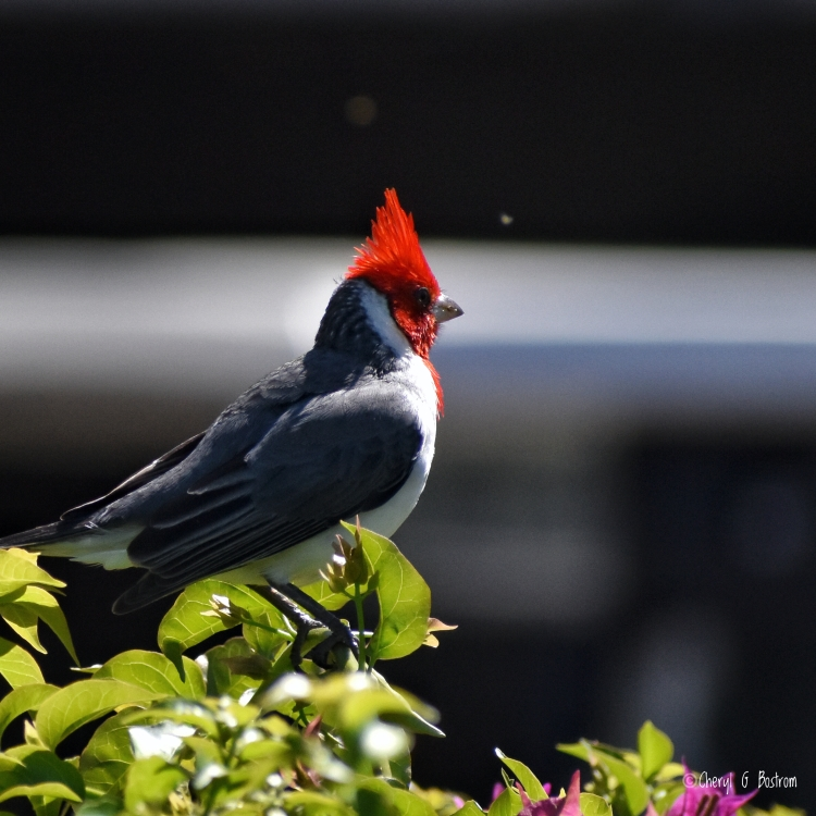 Hawaiian-Red-Crested-Cardinal