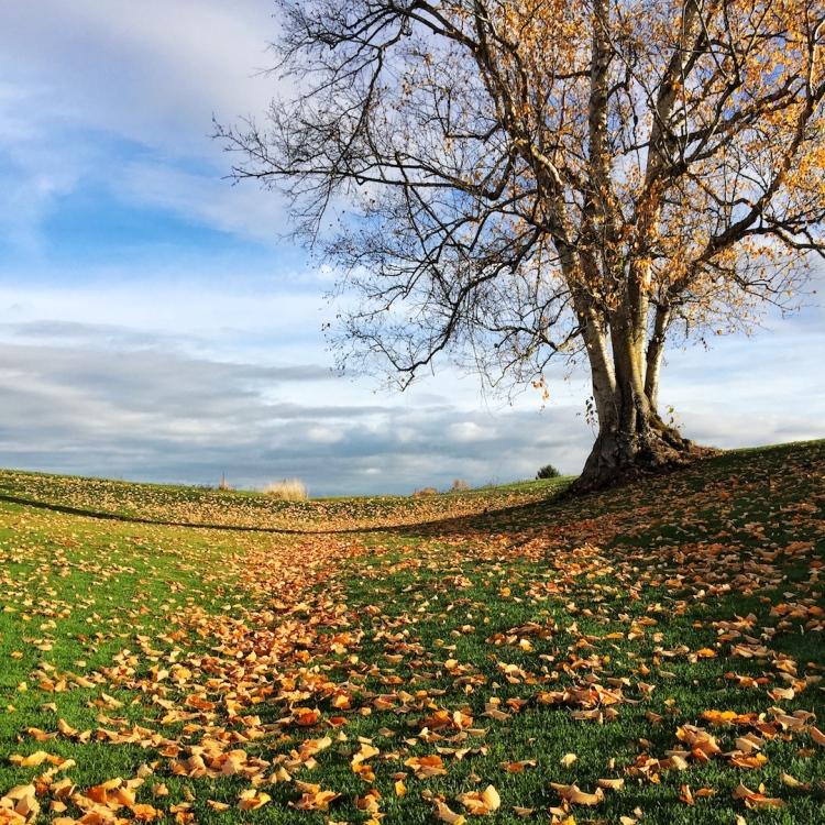 As leaves fall, tree's bones show