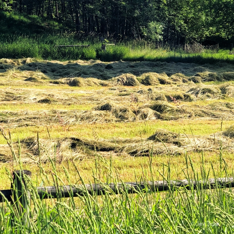 newly mown hay in small field
