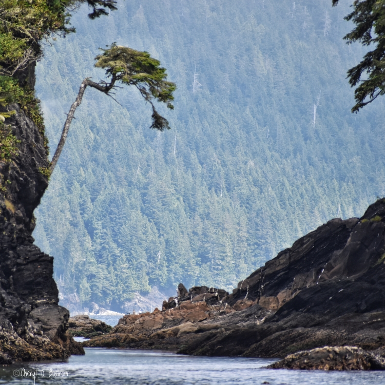 Windswept tree grows out of rocky cliff over ocean inlet