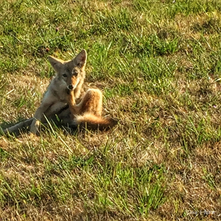 Juvenile coyote scratching chin in grassy field