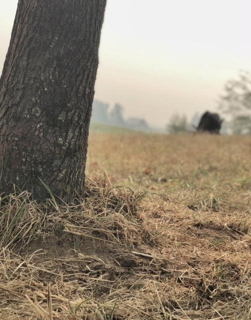 Maple tree on sun-baked knoll
