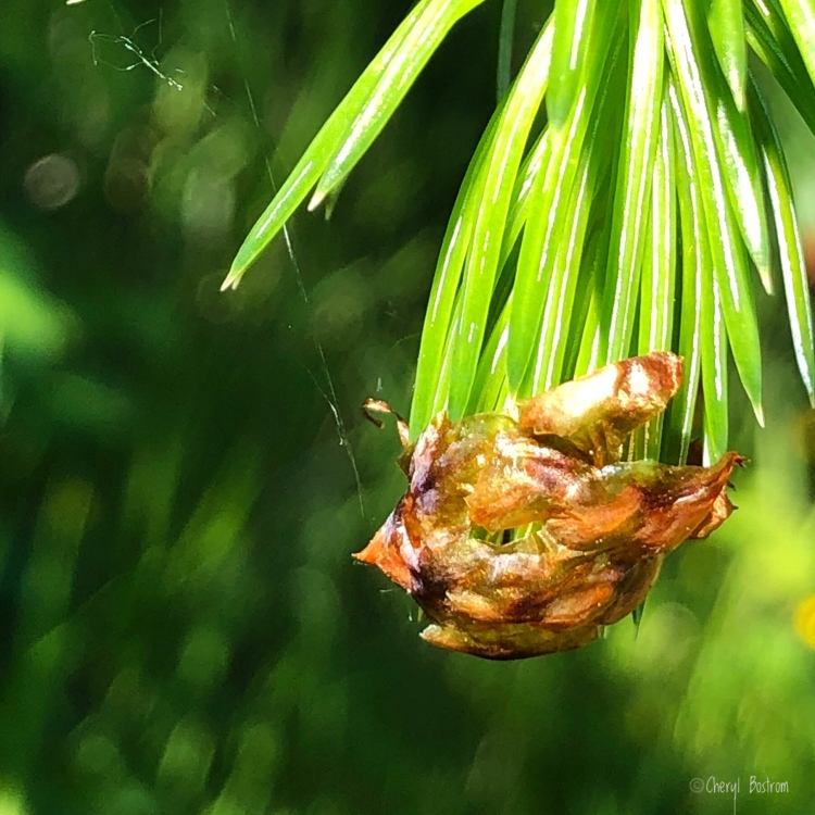 emerging Doug fir bud