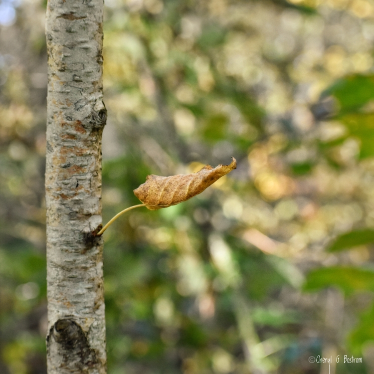 Curled birch leaf clings to trunk