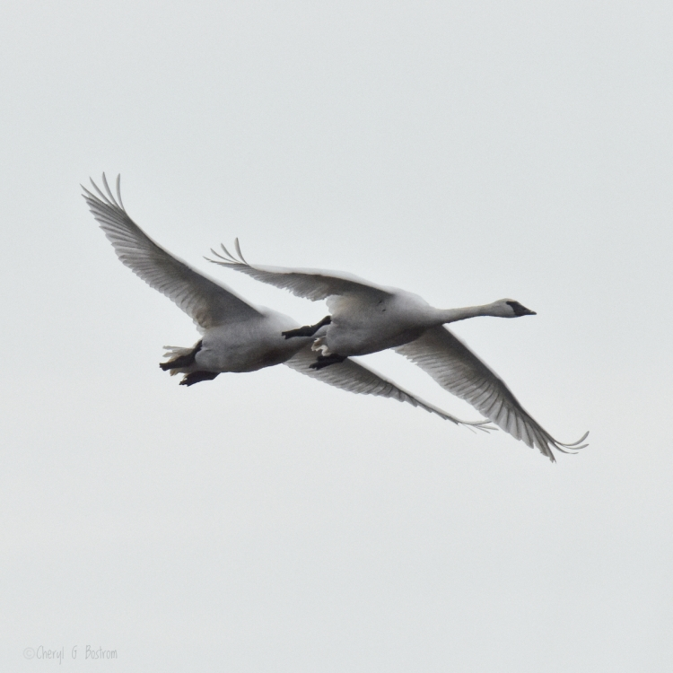 Trumpeter-swans-soar-together
