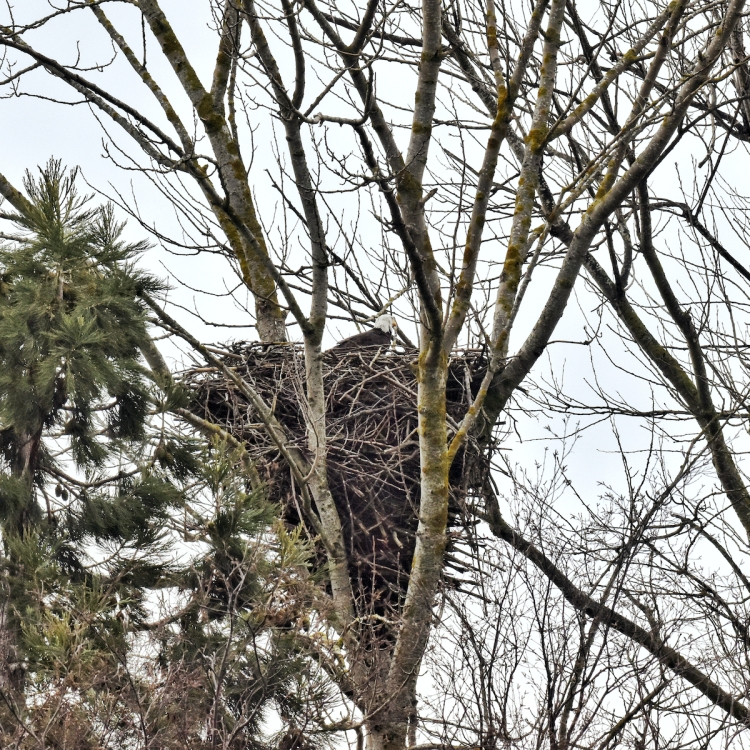 Bald-eagle-sits-in-nest