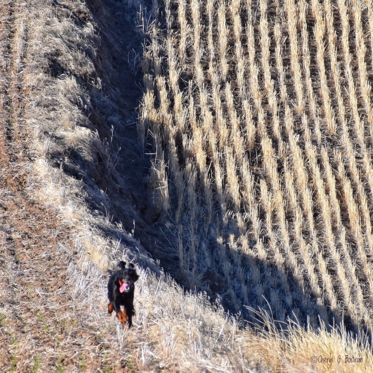 Gordon Setter speeds along Palouse fenceline