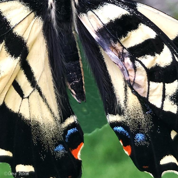 Injured swallowtail wing closeup