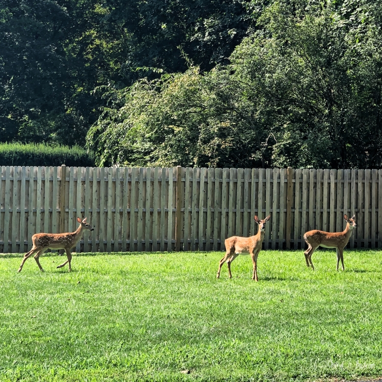 Three fawns stand on lawn in front of fence