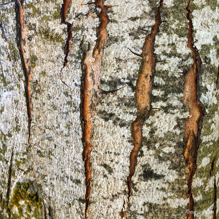 Wide stretch marks on trunk of fast-growing tree