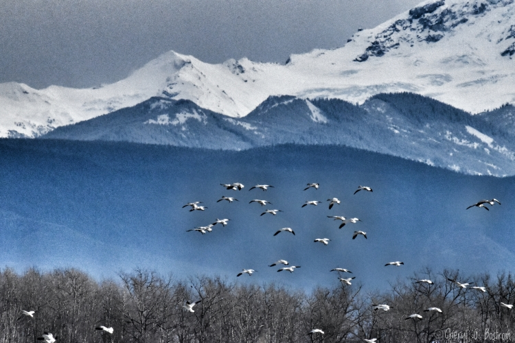 Snow Geese fly along Cascade foothills as bald eagle looks on