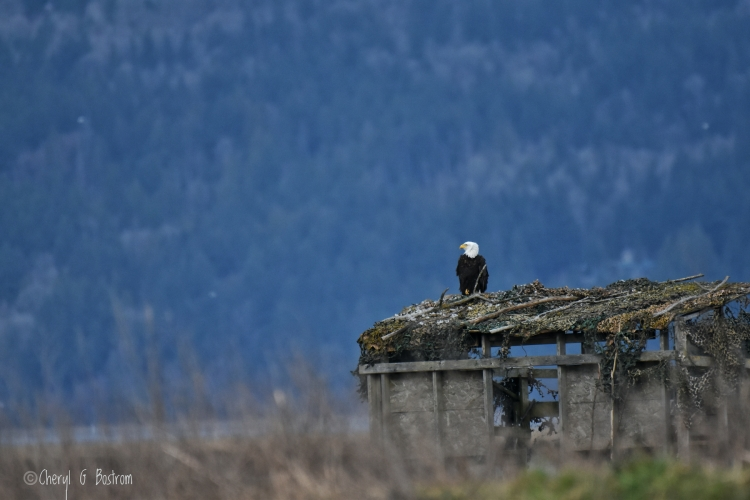 Bald eagle perched on hunting blind