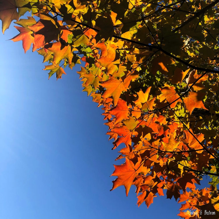 Brilliant fall leaves against blue sky