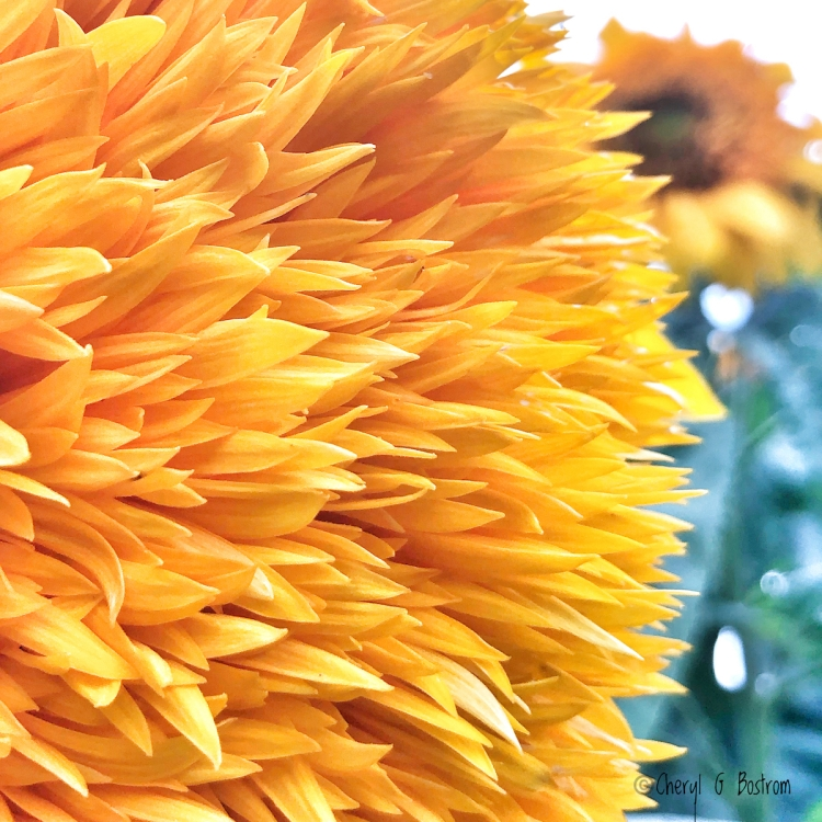 Brilliant yellow petals teddy bear sunflower close up