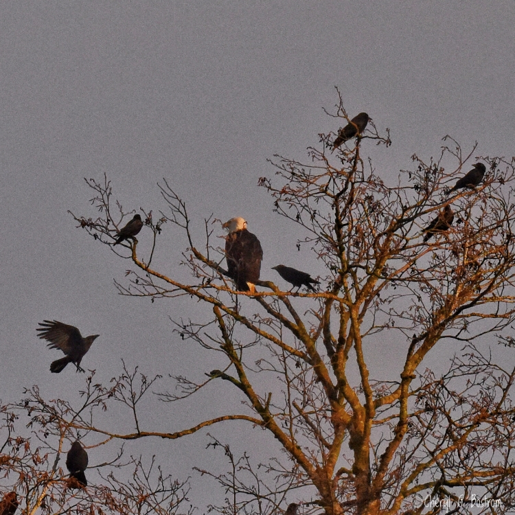 More-crows-fly-to-eagle-in-tree