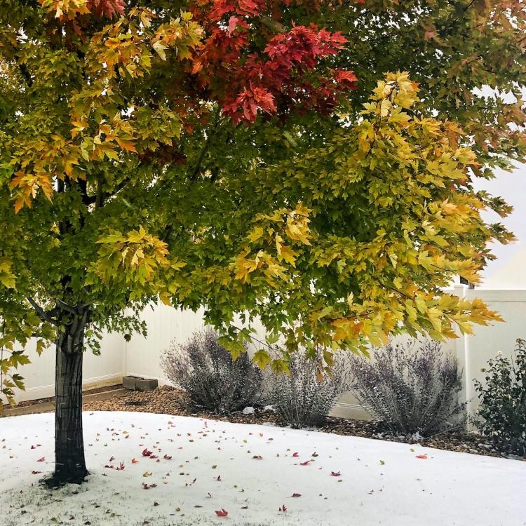 Autumn blaze maple changes colors above early snow