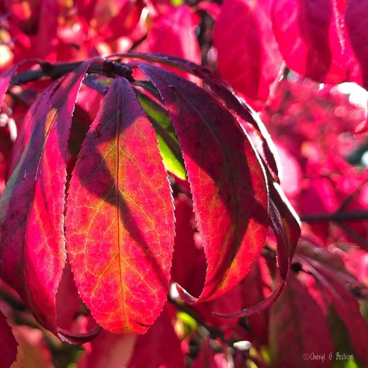 Close-up of brilliant red burning bush with shadows in leaves