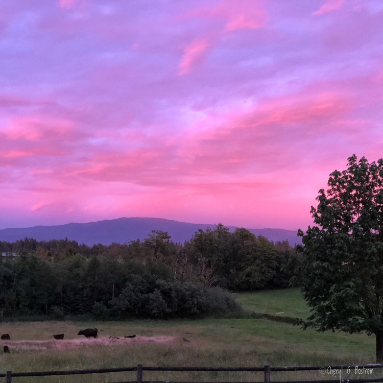Pink sunset glow spills from sky to pasture of grazing cows