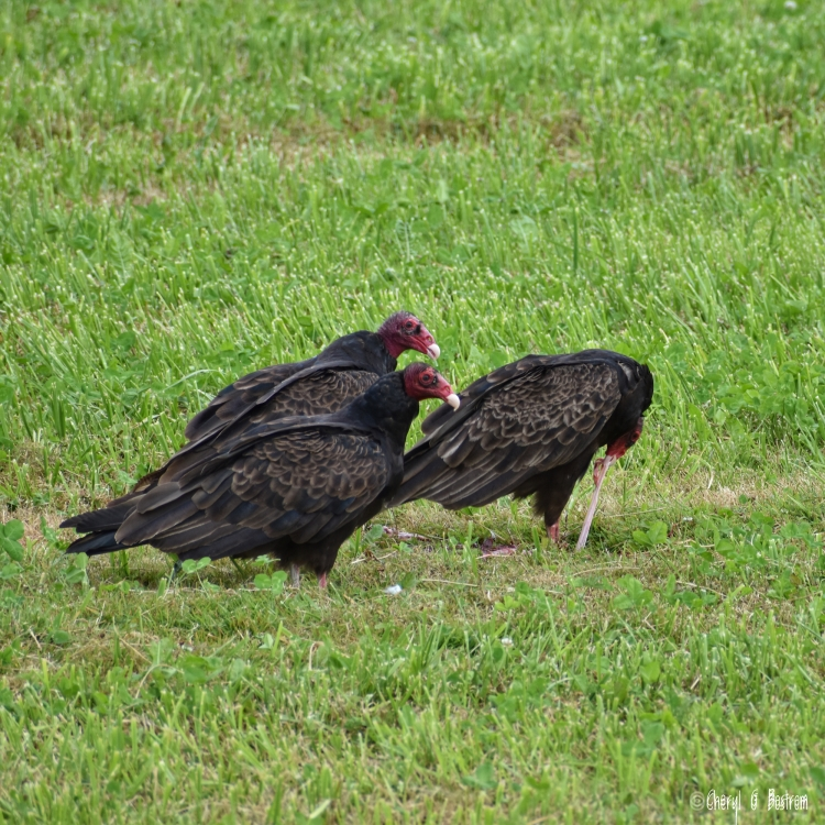 Three turkey vultures eat calf's umbilical cord