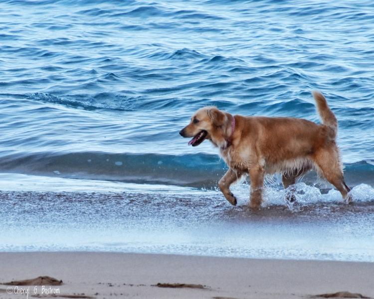 Golden-retriever-wades-along-seashore