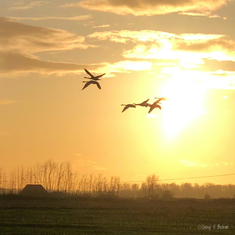 Trumpeter swans cross setting sun