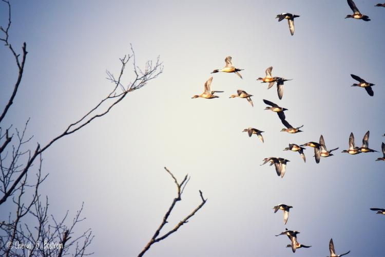 Waterfowl-flock-flies-to-bare-trees