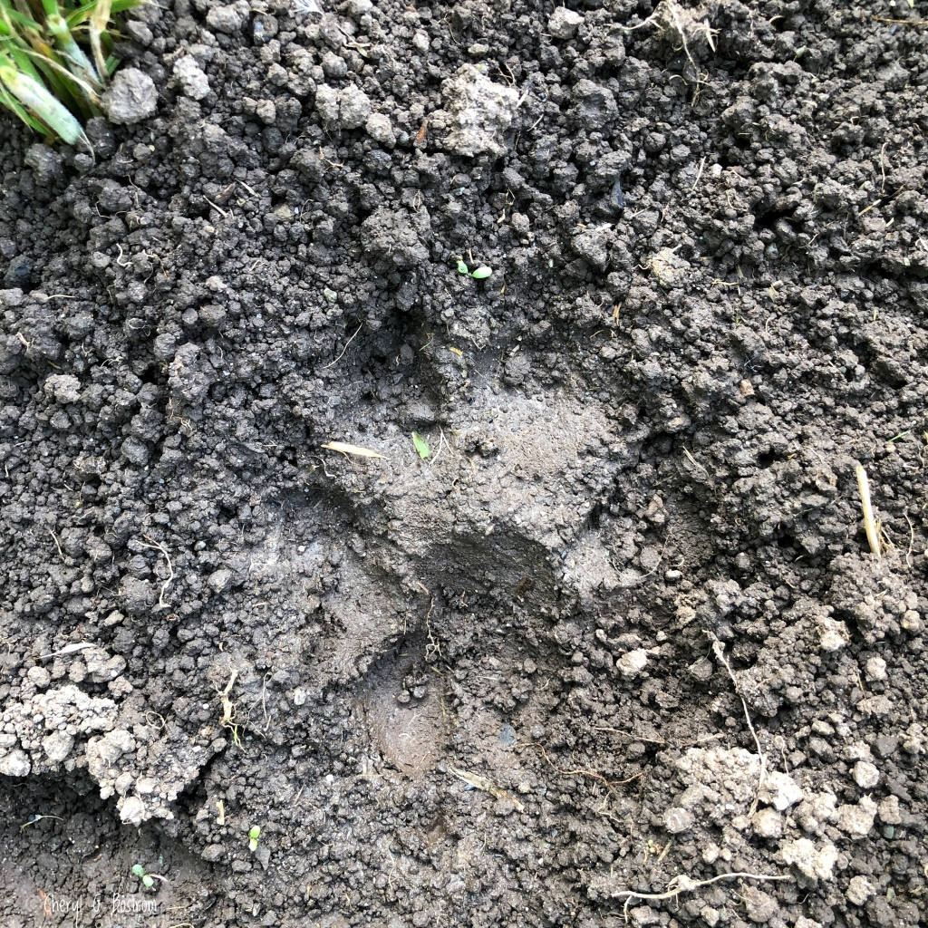 cougar-track-in-dirt