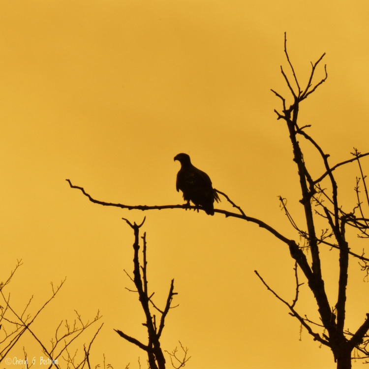 Eagle-on-branch-in-golden-fog