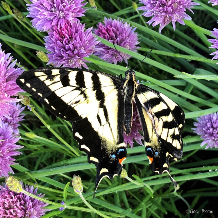 tiger swallowtail butterfly with injured wing