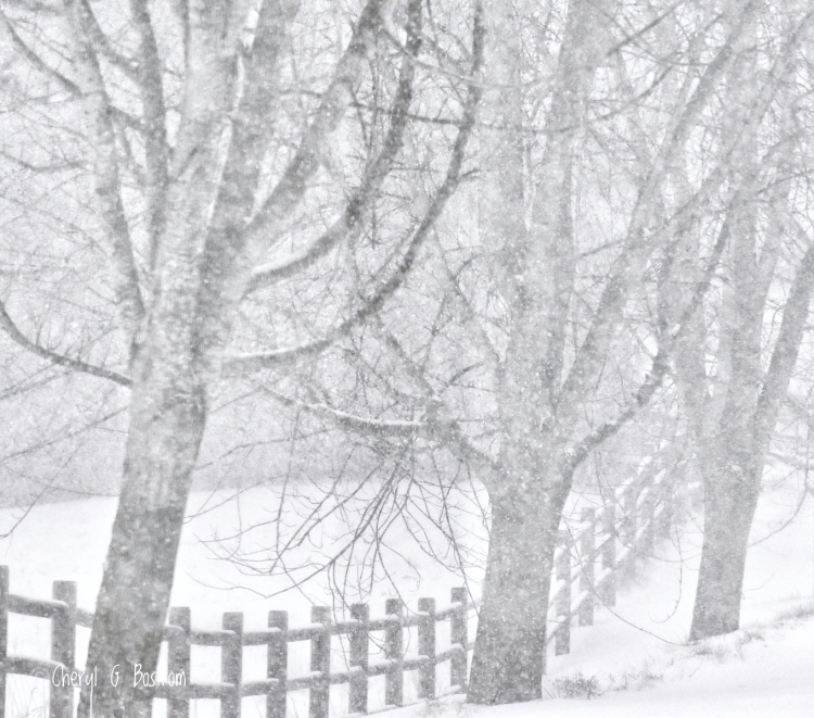 Pole-fence-and-three-silver-maples-in-snow-flurry